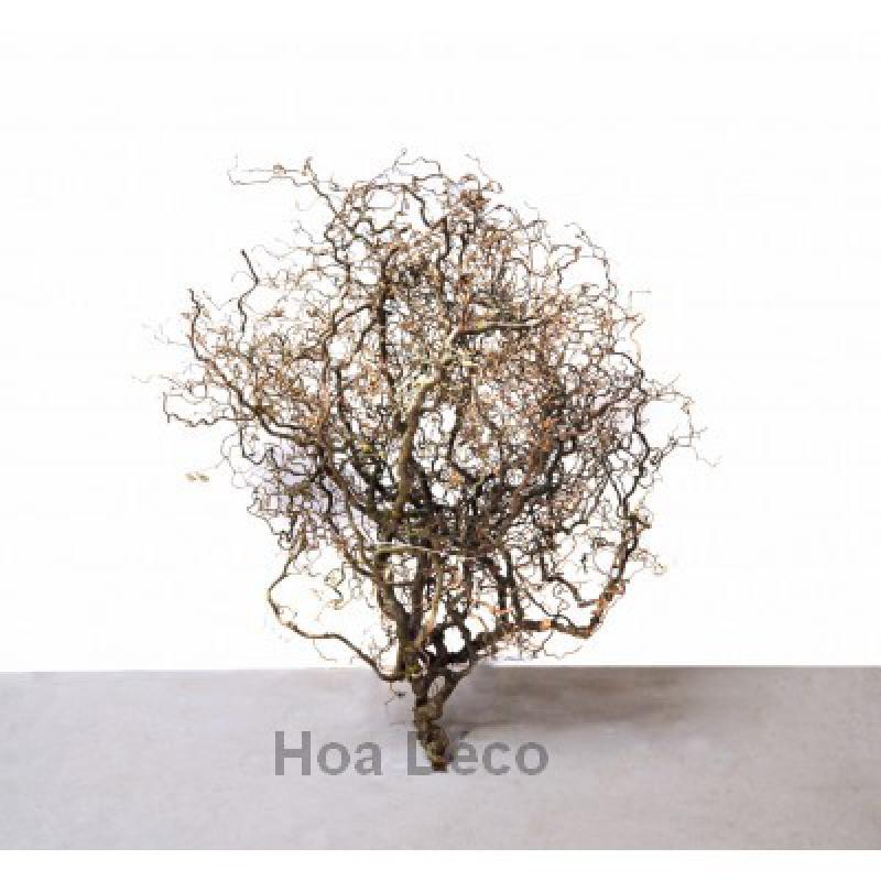 noisetier tortuosa fagot x1 40 branches. Black Bedroom Furniture Sets. Home Design Ideas